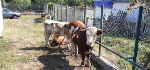 Prijepolje subvencija za osemenjavanje stoke