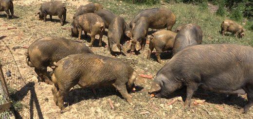 moravkla svinja