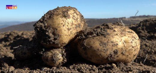 Krompir iz Ivanjice