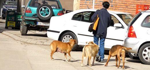 Psi lutalice u Priboju