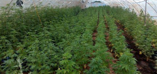 Zasad marihuane u Požegi
